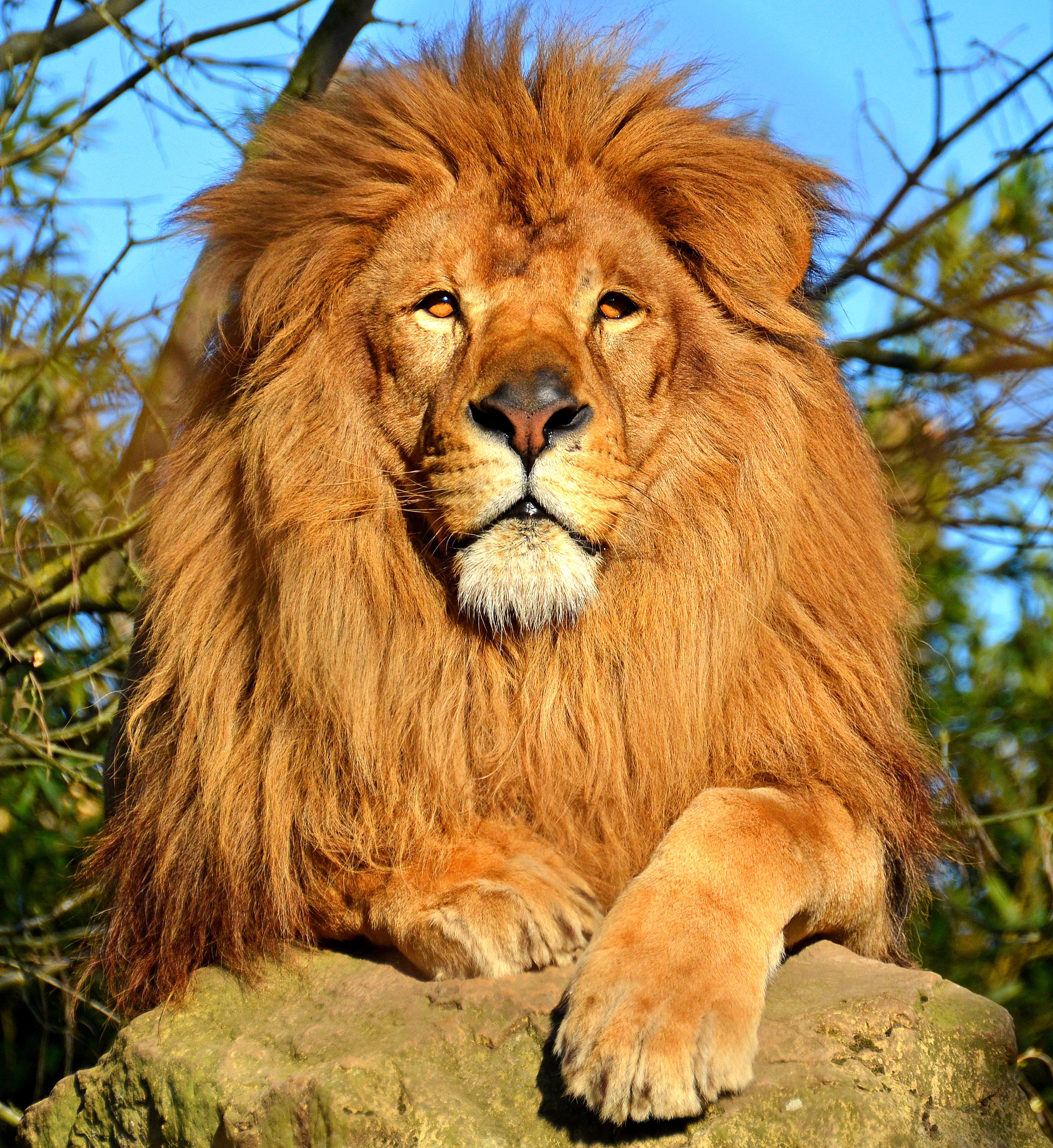 лев мужчина